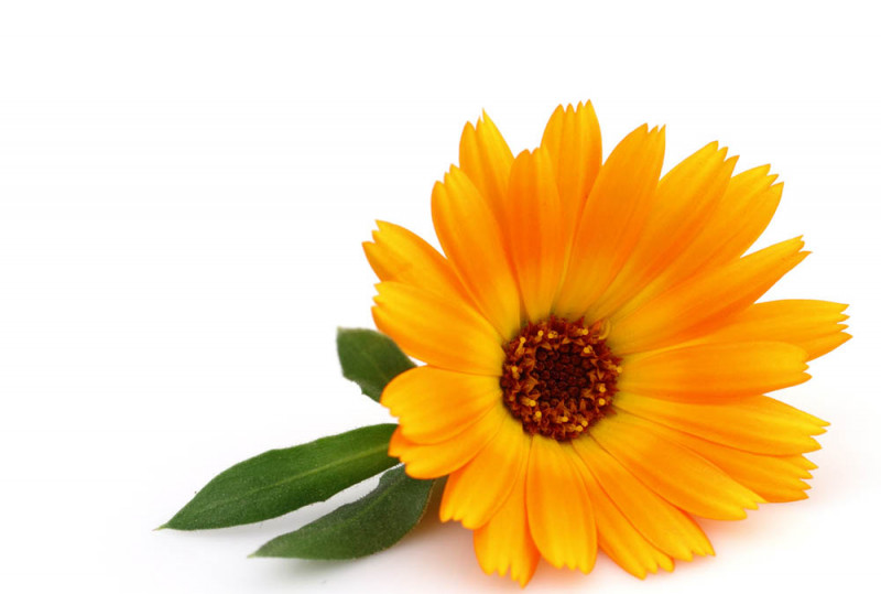 Learn about Calendula and it's uses in herbal and homeopathic medicine